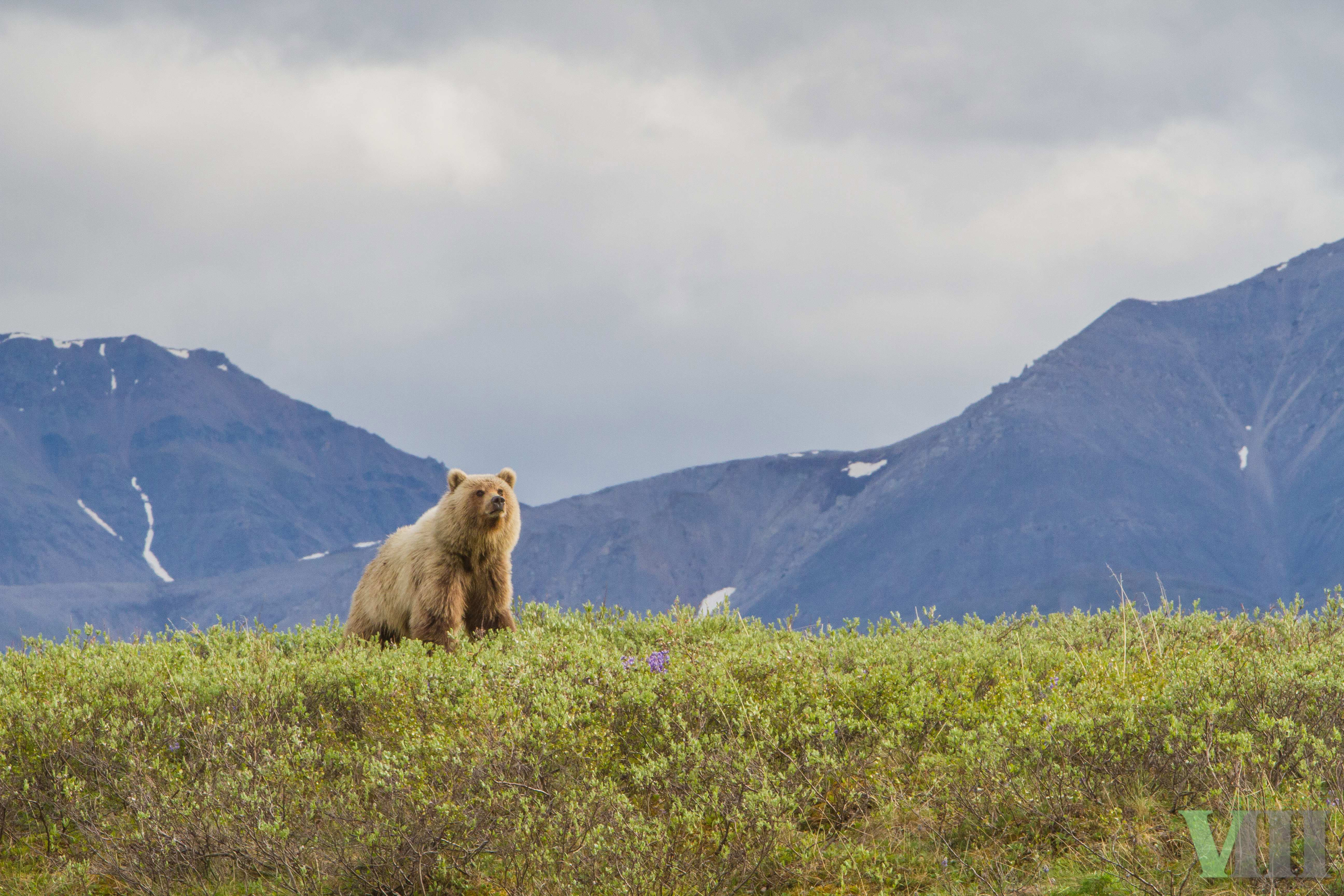 a description of the arctic national wildlife refuge Arctic national wildlife refuge description: renowned for its wildlife, arctic refuge is inhabited by 45 species of land and marine mammals, ranging from the pygmy shrew to the bowhead whale.